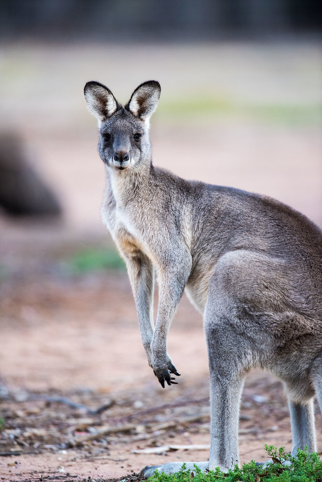 Eastern Grey Kangaroo (captive)