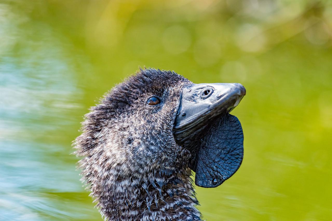 Musk Duck (captive)