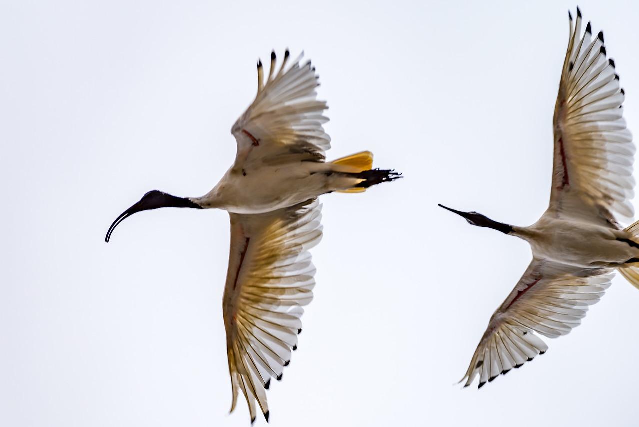 Australian White Ibis