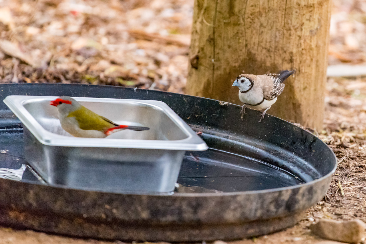 Double-barred Finch, Red-browed Finch