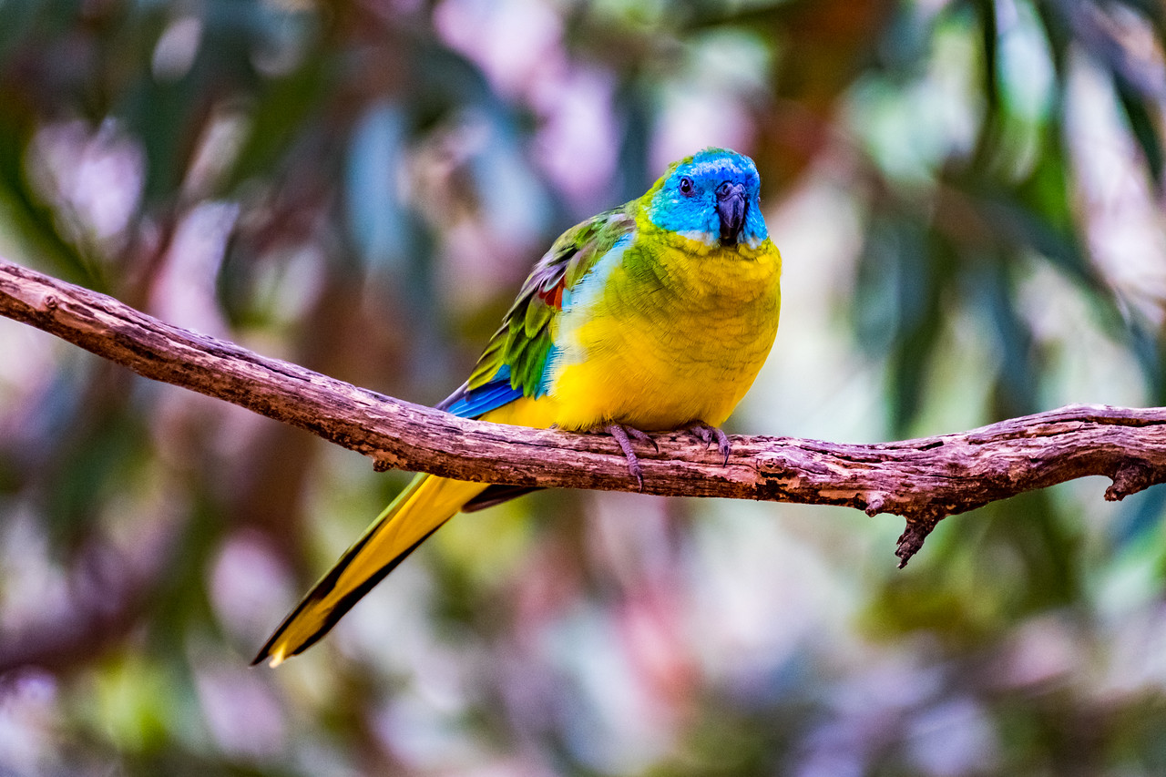 Turquoise Parrot (captive)