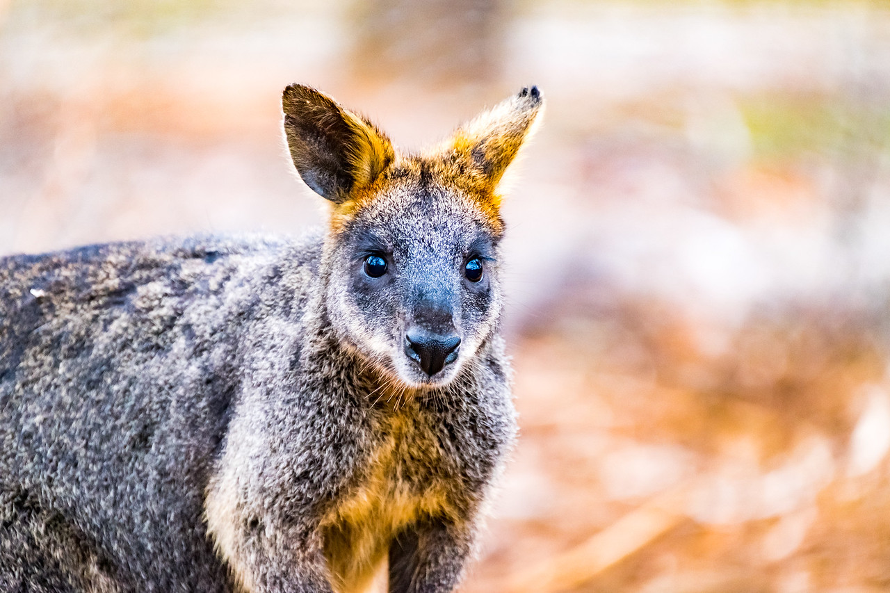Black (Swamp) Wallaby (captive)