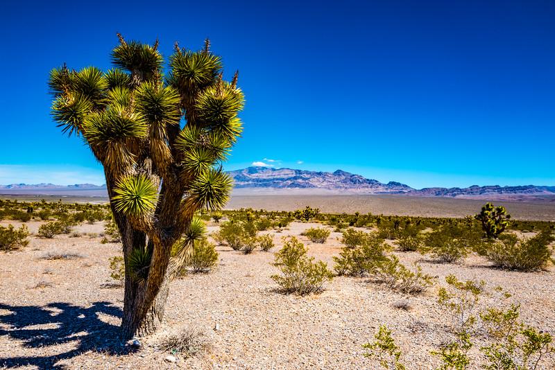 Joshua Tree, Amargosa Valley, Nevada