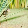 Australian Reed Warbler