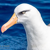 Cambell Albatross