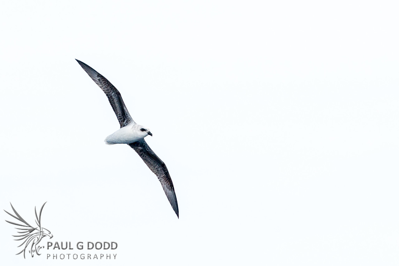 White-headed Petrel