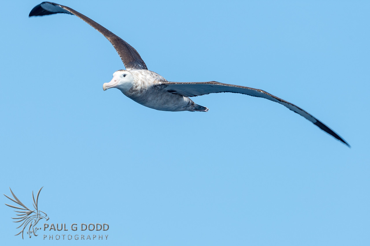 Antipodean (NZ) Albatross