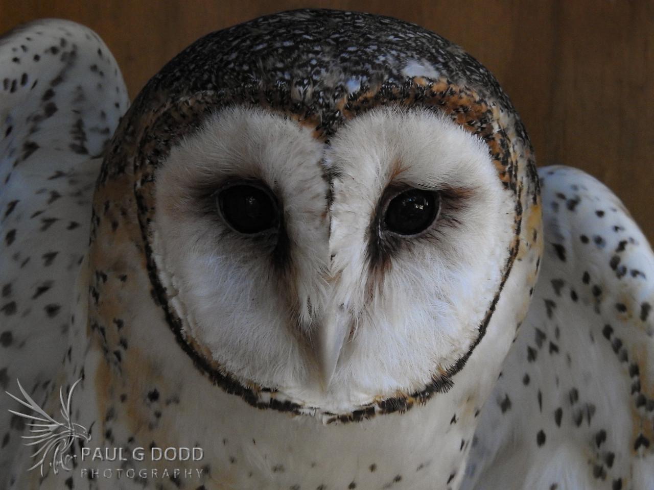 Masked Owl (captive)