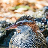 Buff-banded Rail (captive)