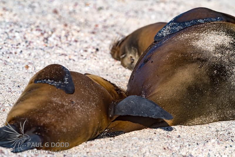 Galápagos Sea Lion (suckling)