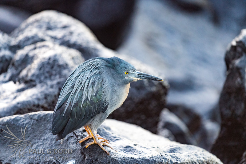Lava (Striated) Heron