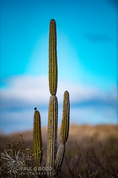 Large Cactus Finch