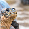 Indefatigable Island Tortoise