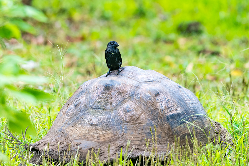 Indefatigable Island Tortoise, Smooth-billed Ani