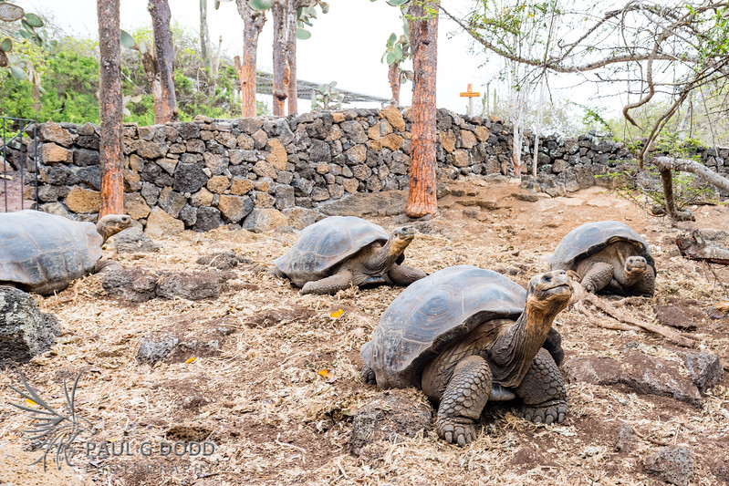 Indefatigable Island Tortoise