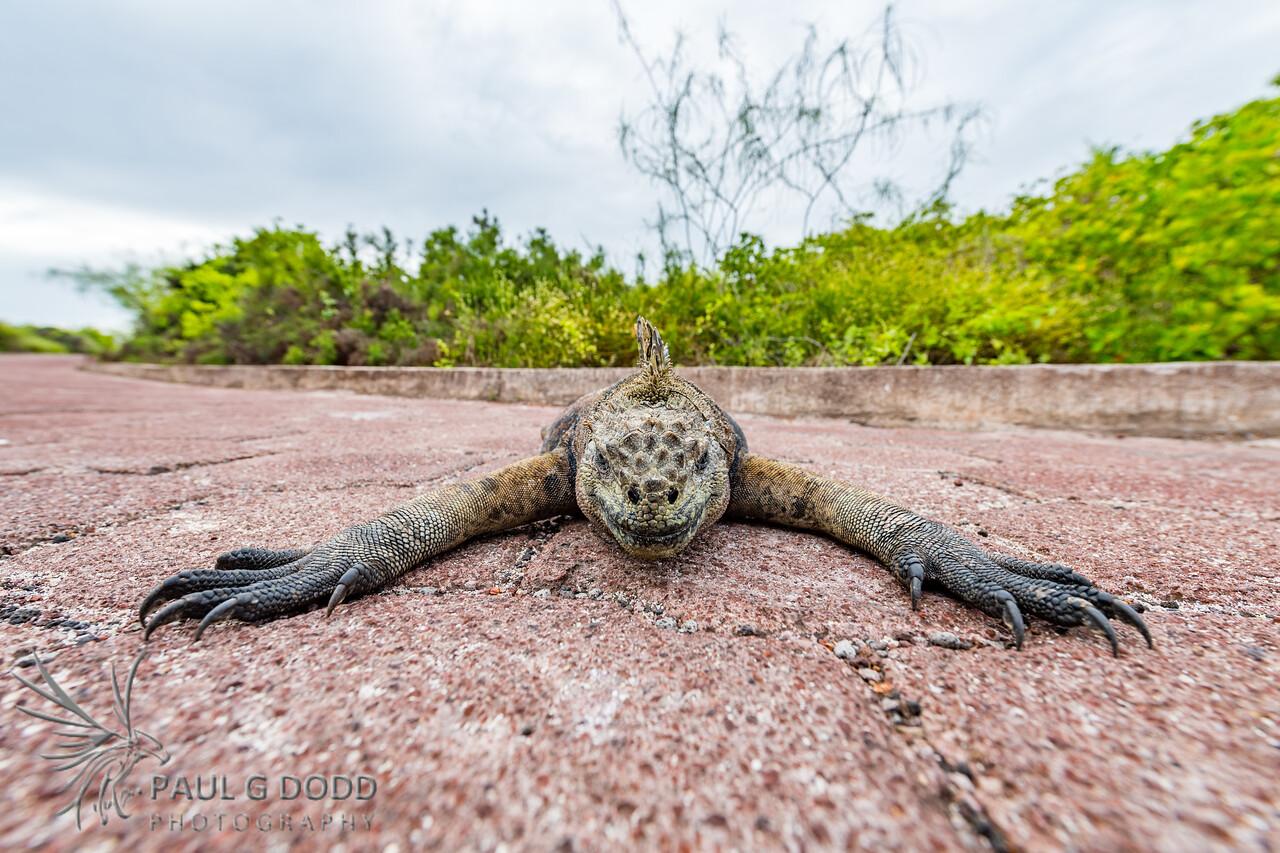 Galápagos Marine Iguana