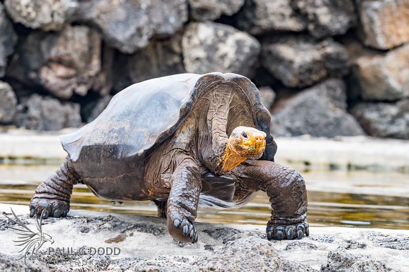 Hood Island Tortoise
