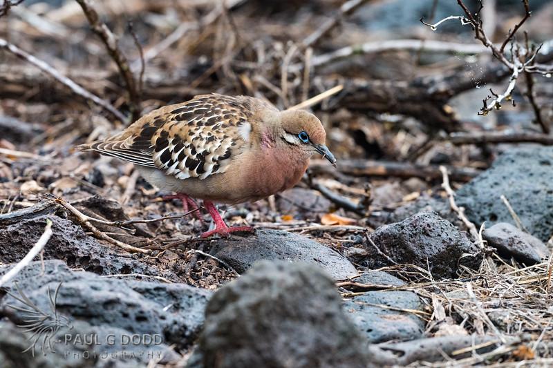 Galápagos Dove