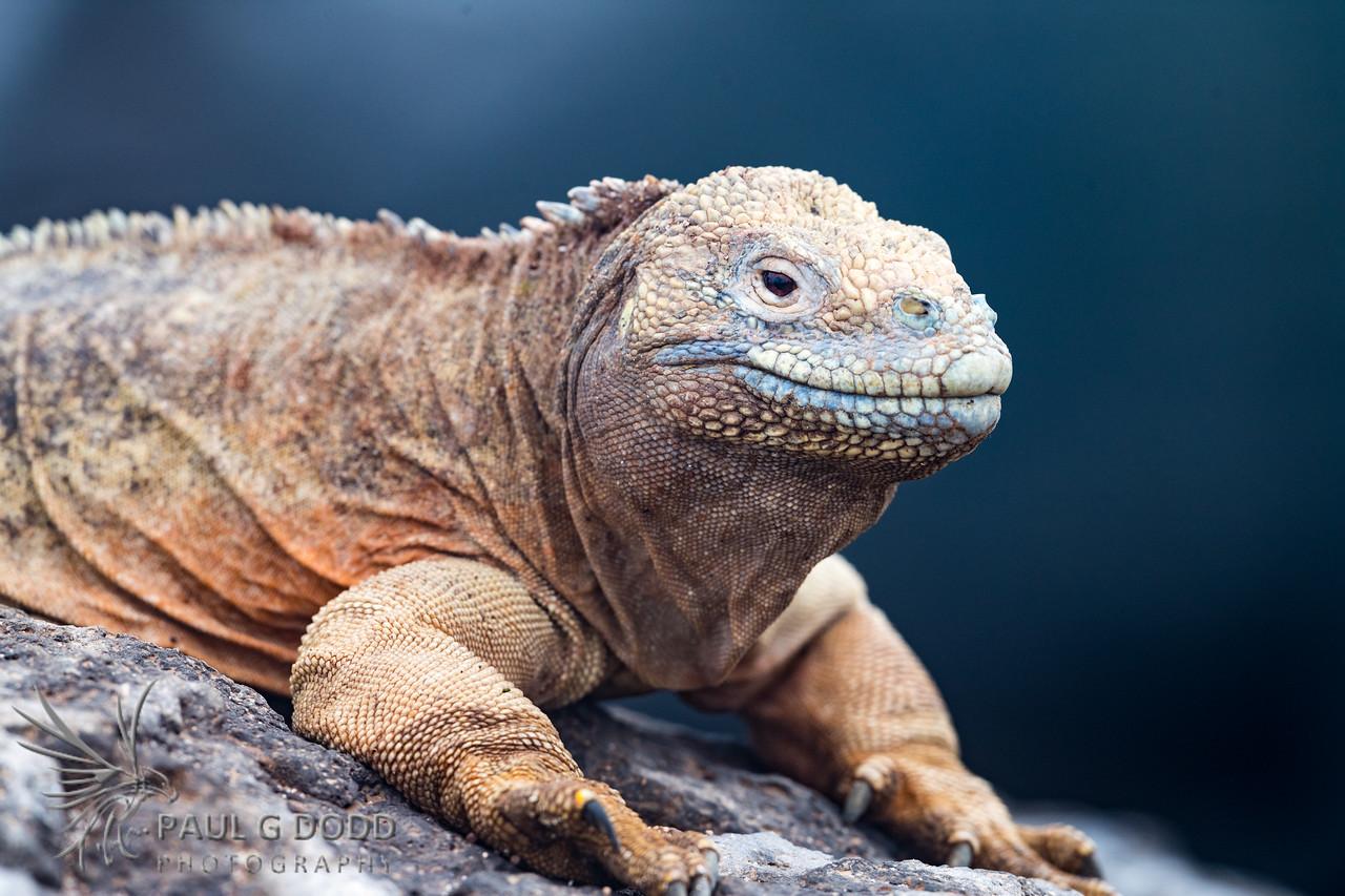 Santa Fé Land Iguana