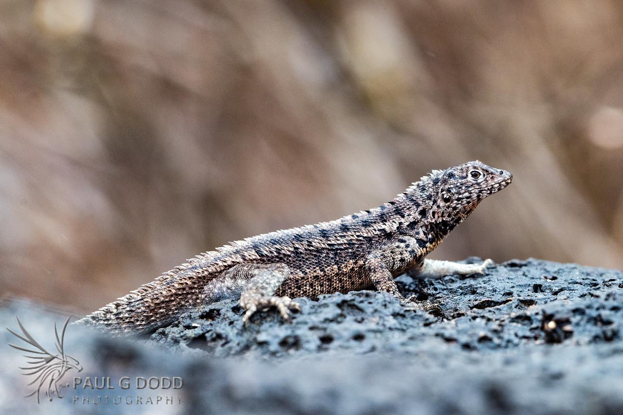 Santa Fé Lava Lizard