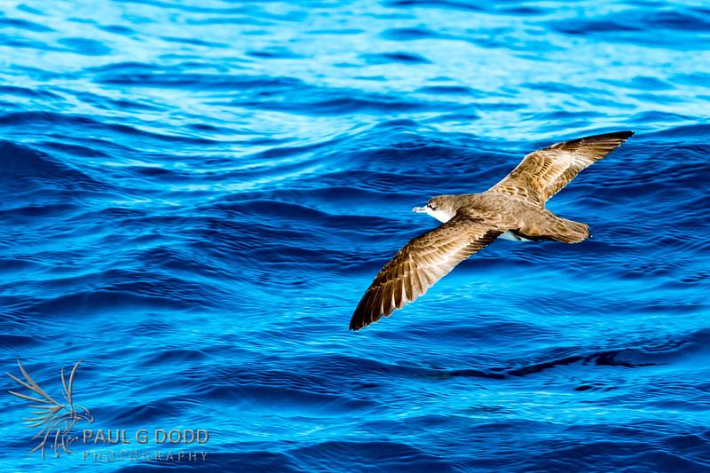 Galápagos Shearwater