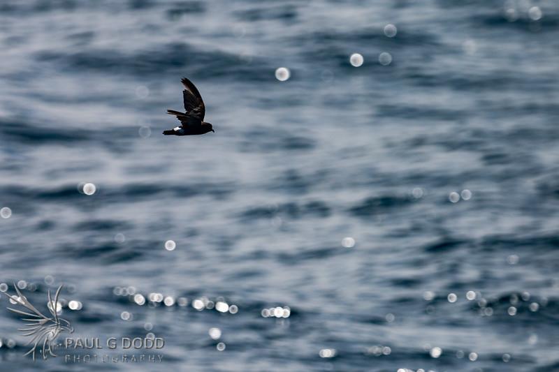 Band-rumped (Madeiran) Storm-petrel