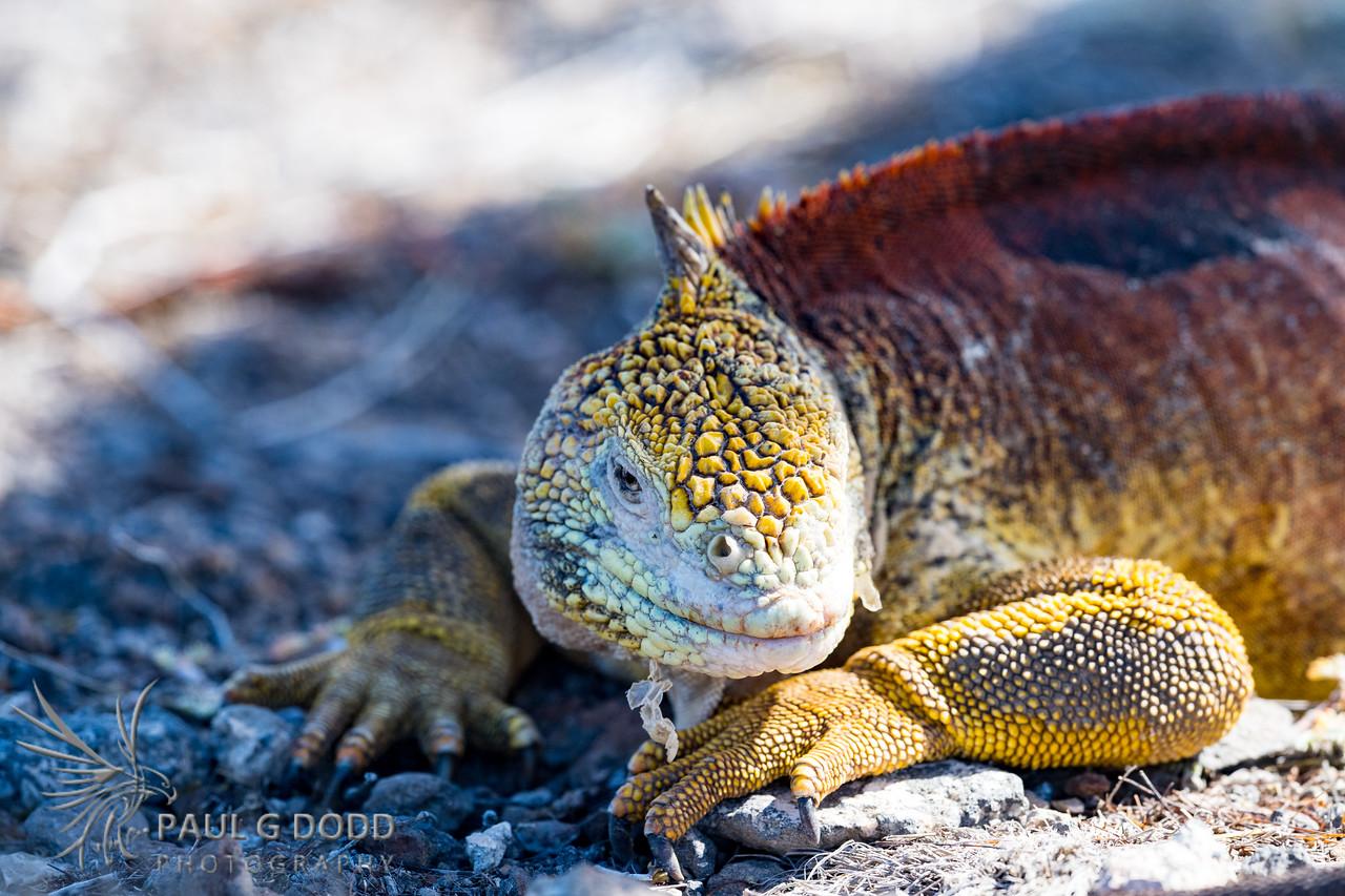 Galápagos Land Iguana