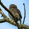Cuban Pygmy Owl