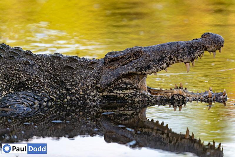 Cuban Crocodile (captive)