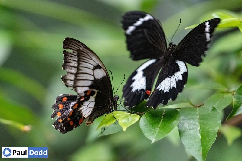 Orchard Swallowtail (captive)