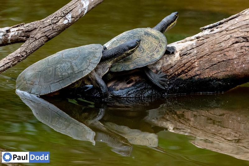 Murray River (Macquarie) Turtle