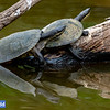 Murray River (Macquarie) Turtle