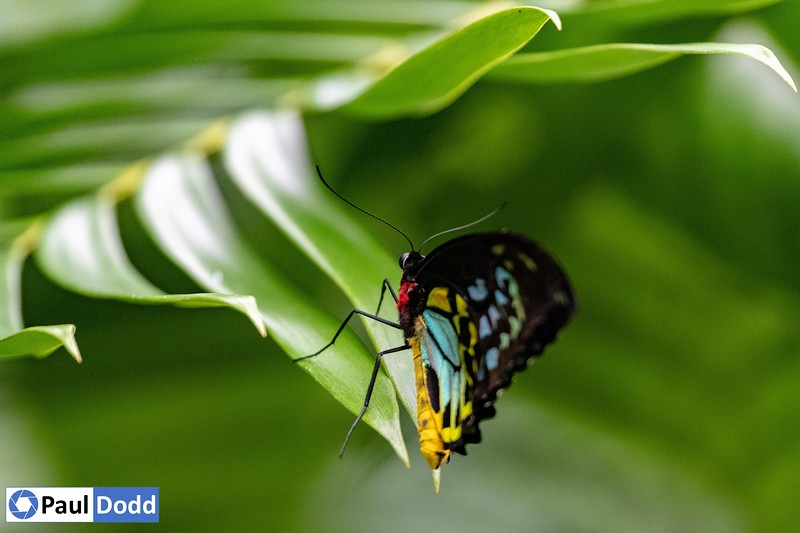 Cairns Birdwing (captive)