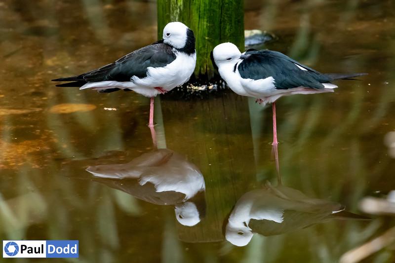 Black-winged Stilt (captive)