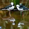 Black-winged Stilt (captive)