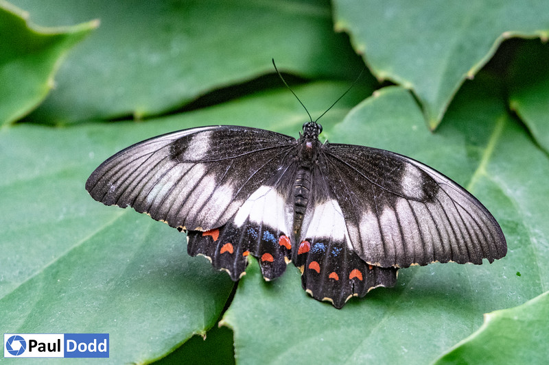 Orchard Swallowtail (captive)