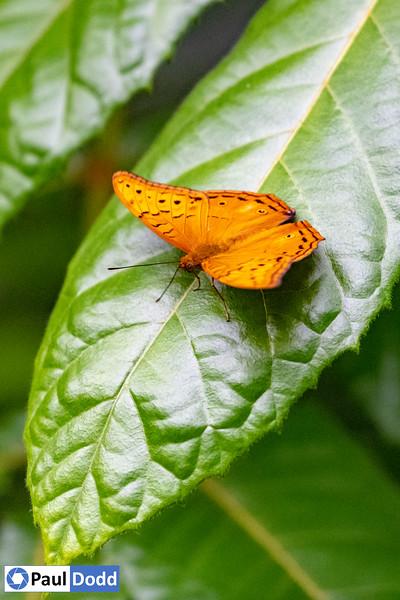 Cruiser Butterfly (captive)