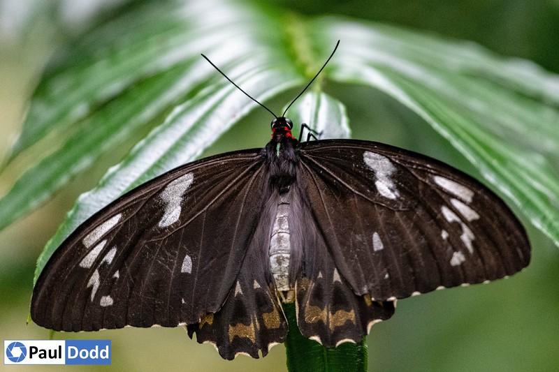 Cairns Birdwing (female, captive)