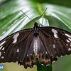 Cairns Birdwing (female, captive)