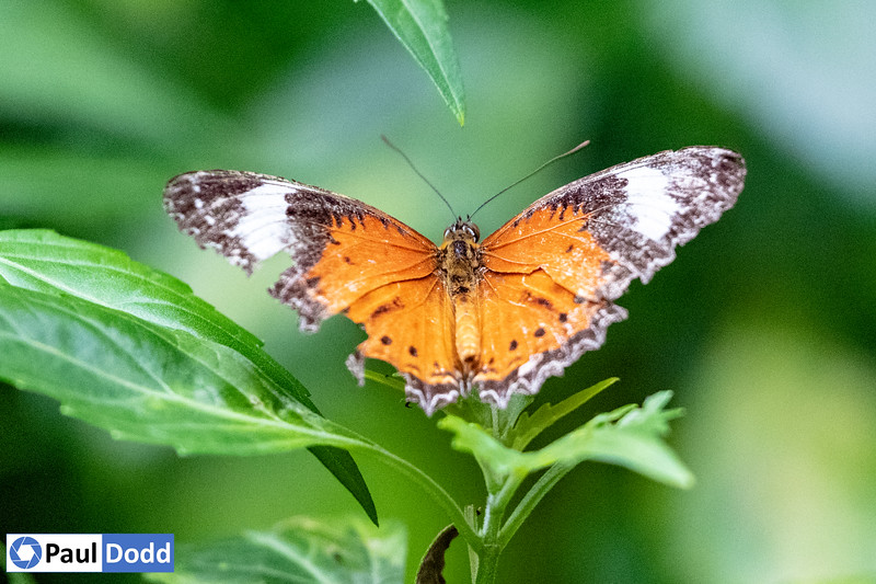 Orange Lacewing (captive)