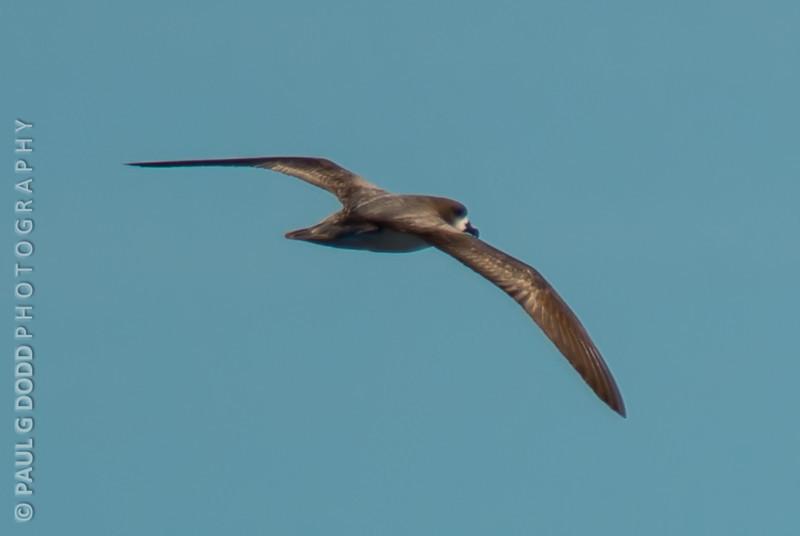 Gould's Petrel