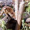 Spotted (Tiger) Quoll (captive)