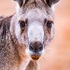 Eastern Grey Kangaroo (captive)