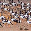 Magpie Goose panorama
