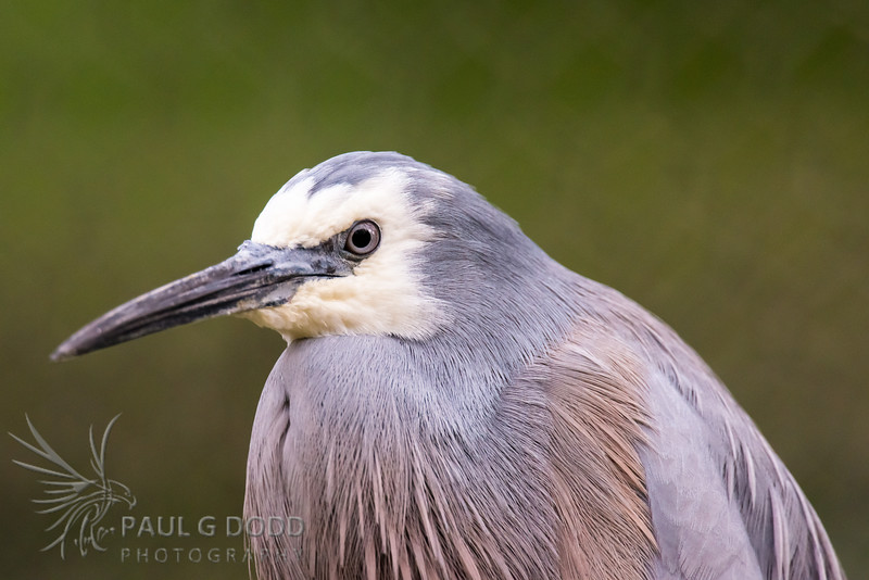 White-faced Heron (captive)
