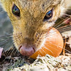 Spot-tailed (Tiger) Quoll (captive)