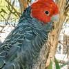 Gang-gang Cockatoo (captive)