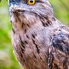Tawny Frogmouth (captive)