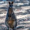 Black (Swamp) Wallaby (captive)
