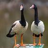 Magpie Goose